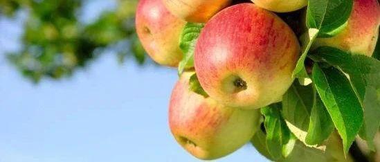 【调研报告】苹果:西北花期降温,有惊无险