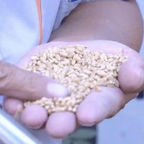 我国收获第18个夏粮丰收季!有人称种地8年,这是收成最好的一年!粮价怎么样?