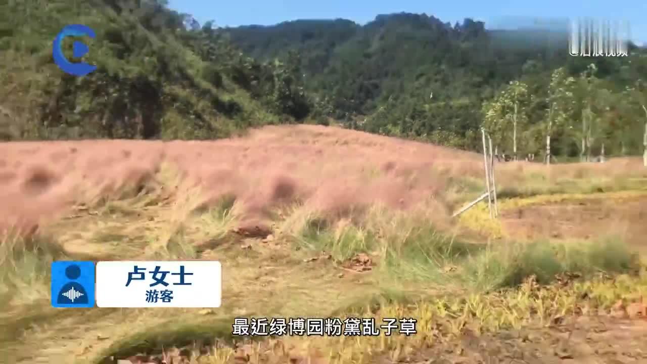 贵州一粉黛乱子草网红景点被踩成草窝,游客吐槽:希望大家提高素质