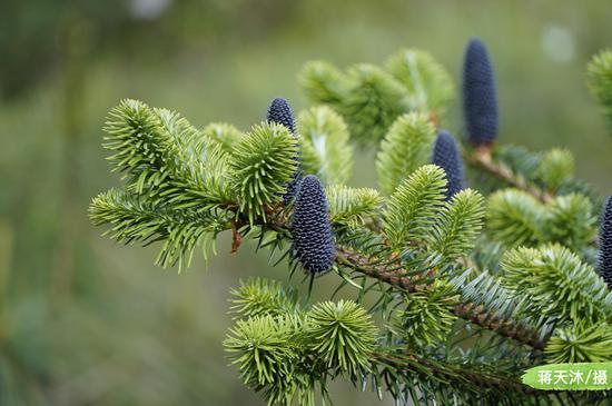 自然爱好者蒋天沐拍摄到国家Ⅱ级重点保护野生植物 ——云杉