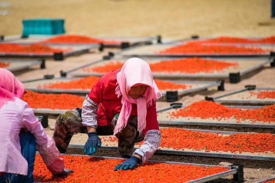 中宁枸杞农户在晾晒枸杞。中国绿化基金会供图