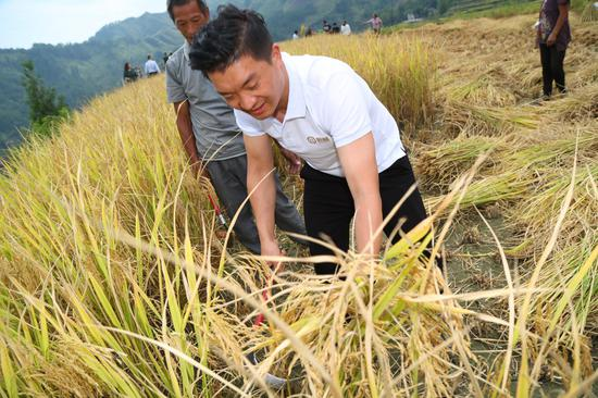 恒昌高级副总裁潘磊在酉阳花田乡收割水稻