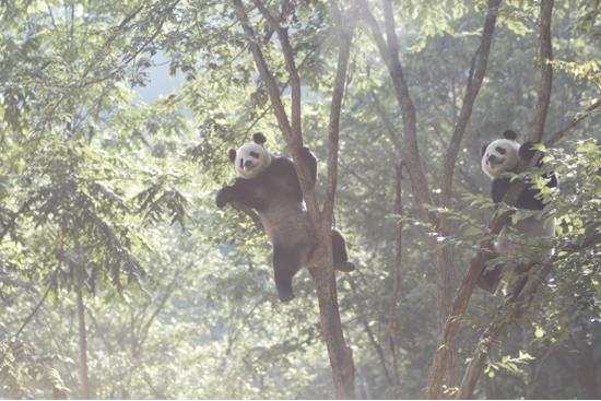 图:秦岭大熊猫,雍严格摄