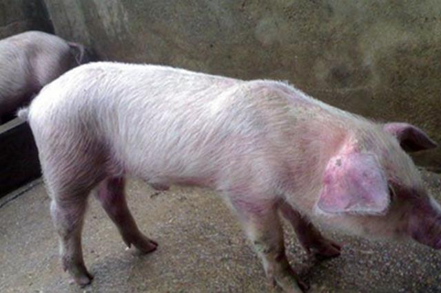 """猪一类疫病_辟谣 专家:""""非洲猪瘟疫情可在人体潜伏15年""""言论不实_新浪 ..."""