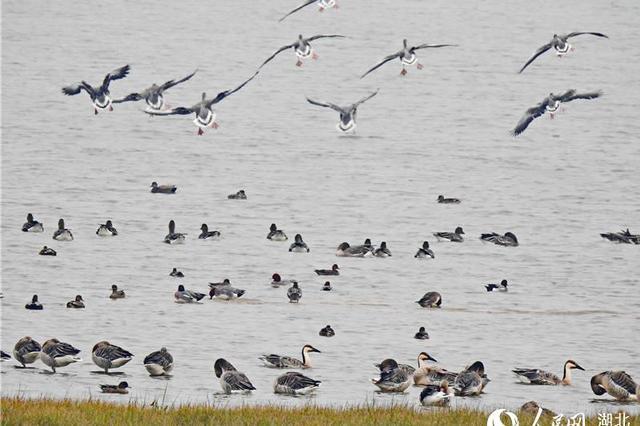 武漢府河迎來候鳥 市民涌現觀鳥熱潮