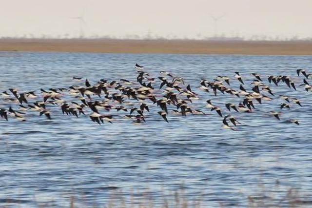 沧州沿海迎来9万余只候鸟 300名志愿者轮流值守_新浪河北_新浪网