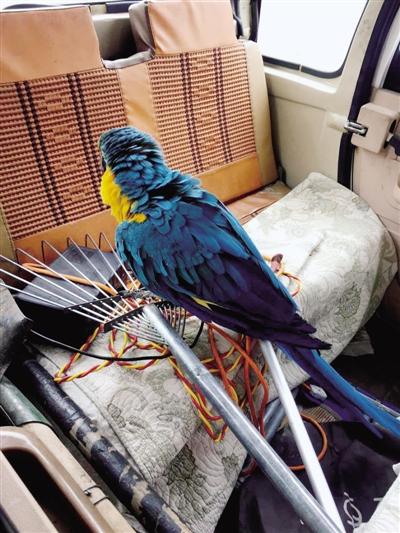 郑州走失的金刚鹦鹉被寻回 智力相当于两三岁孩子