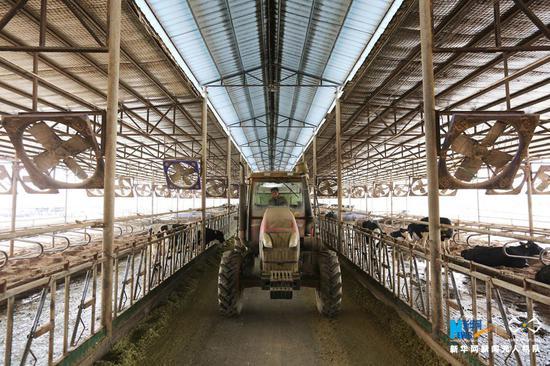 3月3日,员工为奶牛投放饲料。