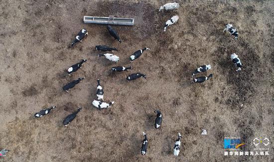 3月3日,河南省武陟县北郭乡西余会村,无人机?#33050;?#21040;的养牛场奶牛。