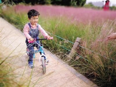 郑州西流湖粉黛乱子草景色壮观
