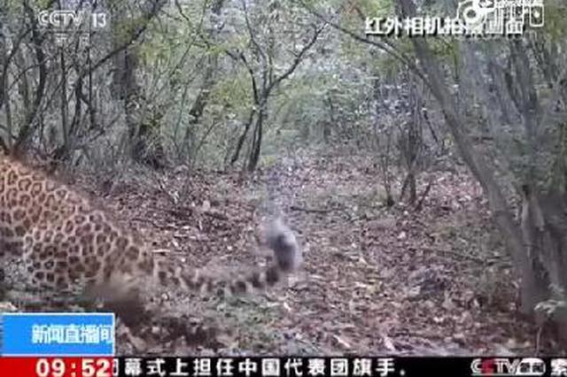 河南:太行山中频繁拍摄到金钱豹