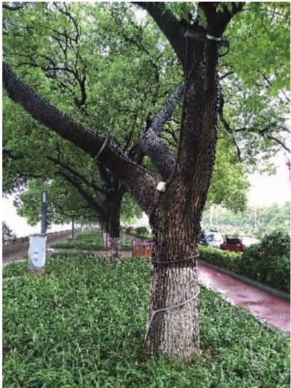 """湘江风光带开福区段,香樟树干被景光灯套上了""""紧箍咒""""。记者 李成辉 摄"""