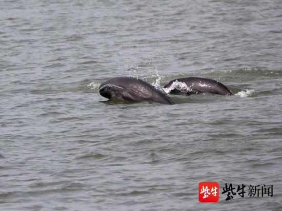 南京长江大桥下一群江豚上演冲浪比赛