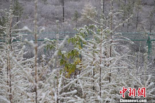 降雪让漠河仿佛进入了冬季。 王景阳 摄