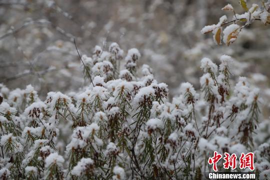 松树松针上挂满了雪球。 王景阳 摄