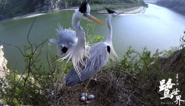 自然电影《鹭世界》喜获艾美奖 导演南京讲述母爱故事