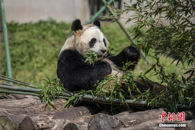 """全球唯一大熊猫三胞胎姐姐""""萌萌""""已""""成婚""""候孕"""