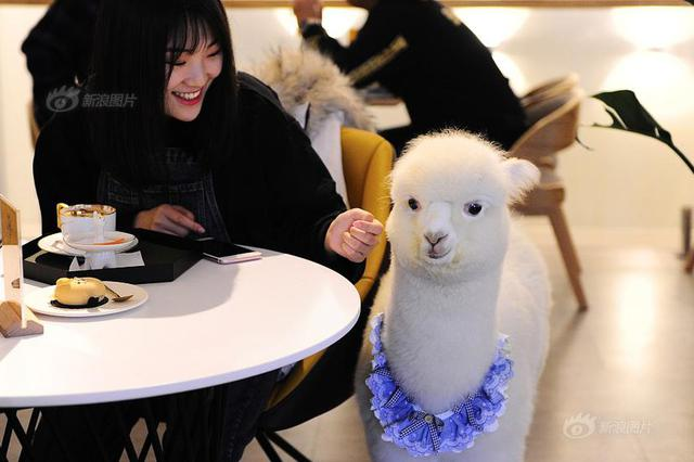 """两只来自澳大利亚羊驼在西餐厅当""""服务员"""""""