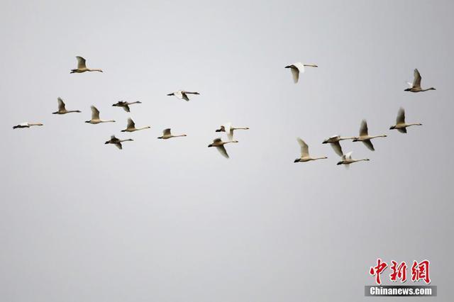 越冬候鸟如约飞抵苏北七里湖
