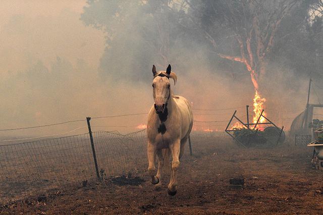 """澳洲林火""""炼狱""""里 它们眼里刻满悲伤"""
