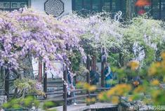 """江苏这些""""紫色瀑布""""惊艳暮春"""