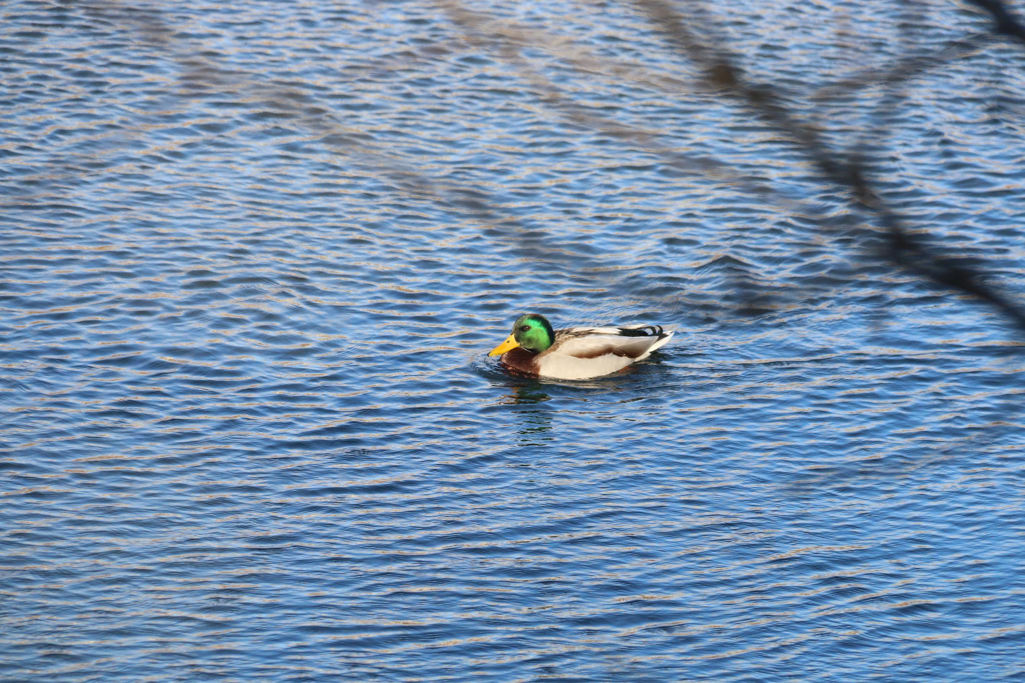 门前大桥下 游过一群快乐的小野鸭