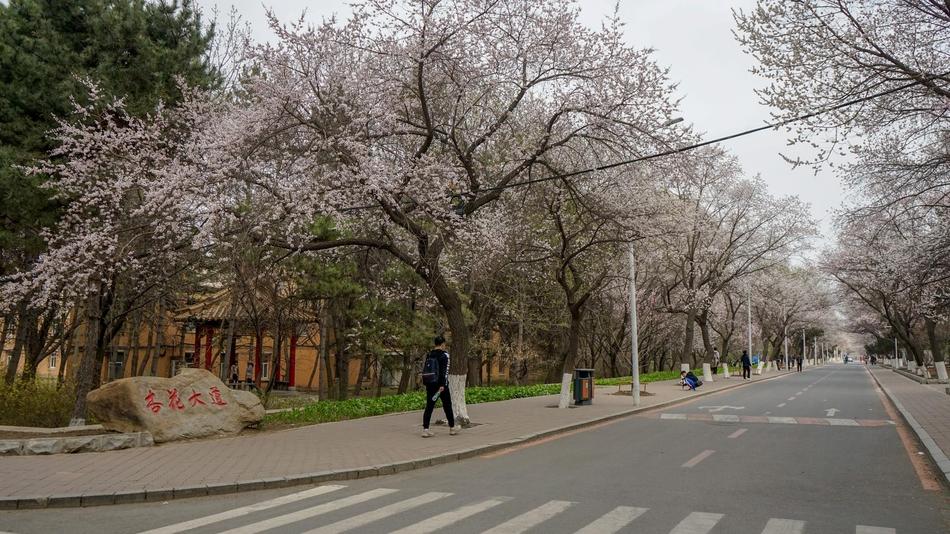 吉林大学南岭校区杏花开放