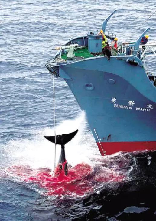 """(图为日本捕鲸船""""勇新丸""""号在捕捉一头鲸鱼,捕鲸炮击中鲸鱼身体后,血水四溢 图源:法制晚报)"""