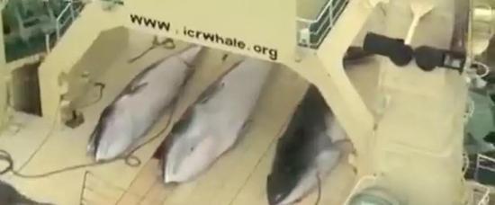 (图为被捕捉上船的鲸鱼 图源:央视音信)