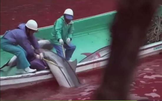 (图为日本渔民用带有倒钩的鱼叉捕捉海豚 图源:纪录片《海豚湾》)