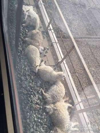 火車碾死90只羊 事故未造成乘客受傷