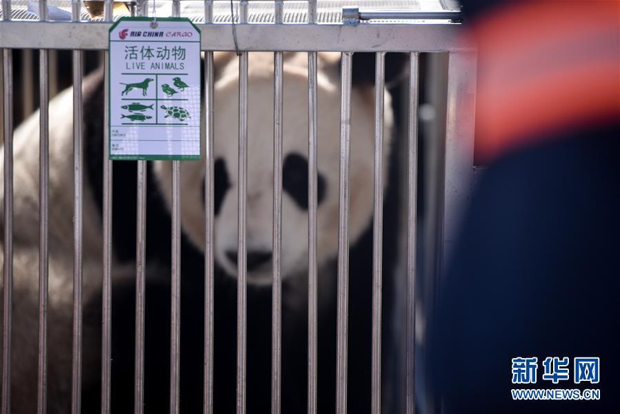 """大熊猫首次""""落户""""高原城市西宁"""