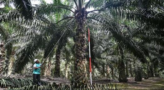位于马来西亚的一处棕榈树林(图源:路透社)