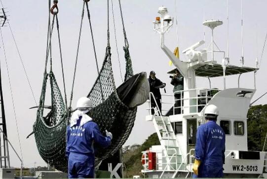 日本宣布退出国际捕鲸委员会 明年重启商业捕鲸
