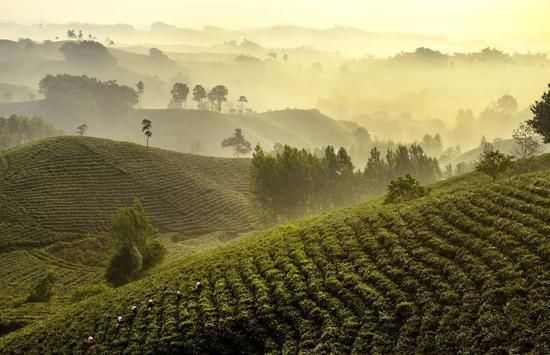 ↑茶农在河南省信阳市浉河区的生态观光茶园采摘茶叶(2018年4月28日摄)。 新华社记者 陶明 摄