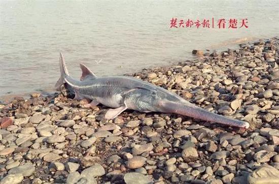 危起伟曾经拍摄到的长江白鲟 图片来源:楚天都市报