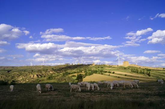 在山西省右玉县小五台风力发电厂附近,当地牧民放养的羊群在吃草(2012年6月12日摄)。新华社记者 燕雁 摄