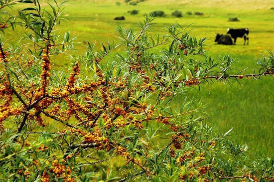 山西省右玉县威远镇种植的沙棘(2007年12月11日摄)。新华社发(辛泰摄)