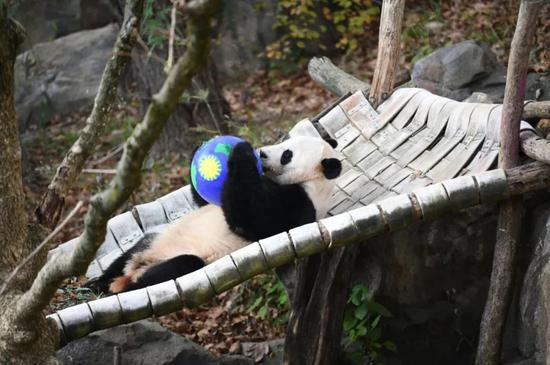 """▲""""貝貝""""在美國國家動物園玩耍。(新華社)"""