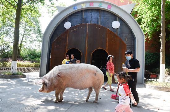 """2020年5月,""""猪坚强""""在别墅前信步。以前1月,猪坚强""""搬进独栋别墅,这是一套外形设计呈猪型的独栋修建,50平方米面积,分成猪生活区和游人参不悦目区。"""