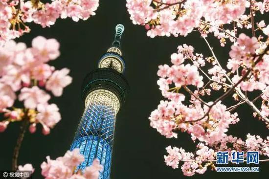 ▲資料圖片:2017年2月22日,日本東京,東京晴空塔下的河津櫻花盛開。