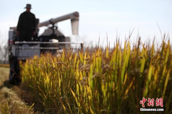 原料图:田间稻谷成熟。孟德龙 摄