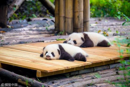 ▲成都大熊猫繁育基地(视觉中国)