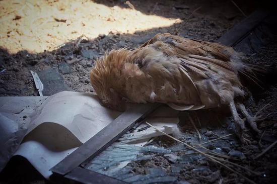 ▷ 有村民家中的家禽也在爆炸中死亡