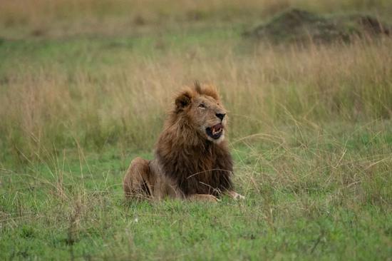 """图为雄狮。在非洲斯瓦西里语中,""""辛巴""""(Simba)的意思其实就是""""狮子""""。新华社记者谢晗摄"""