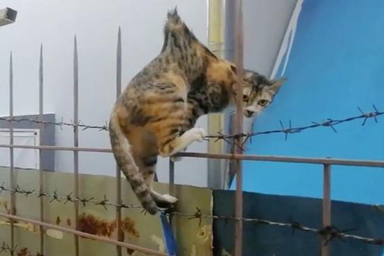 这只流浪猫掉在金属栏杆的尖刺上