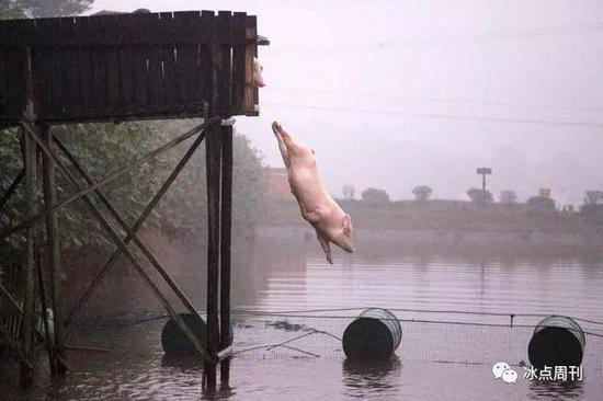 猪圈里的危机:四川当地的成华猪比大熊猫都稀少