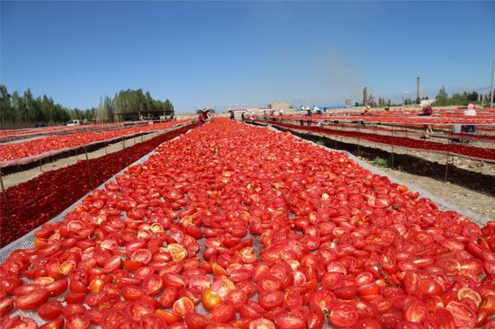 兵團第二師21團職工正在晾曬番茄干(8月4日攝),這里的番茄干100%供出口。□閆志江攝