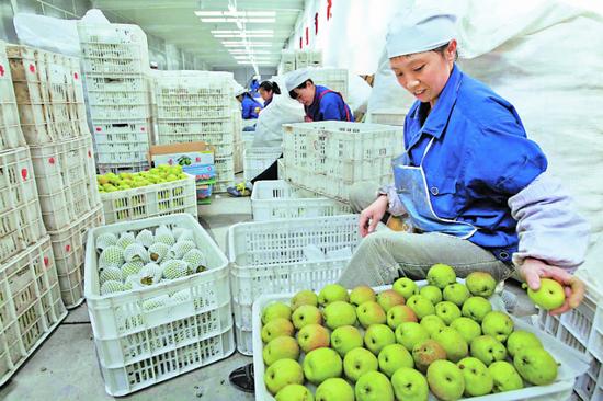 庫爾勒市一家企業的工人正在挑選出口美國的香梨。□楊坤攝