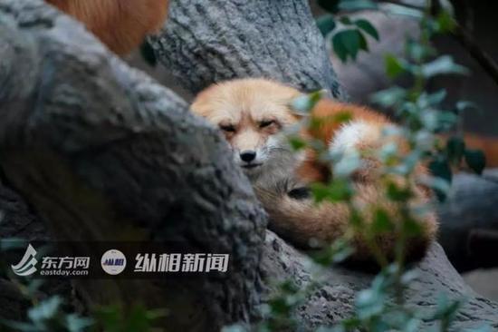上海动物园内的赤狐